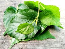 Fresh  mulberry leaves, beautiful arrange overlap, wooden background. Fresh mulberry green leaves arrange overlap on the wooden background, can be made into tea Stock Photos