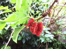 Fresh mulberry, red unripe mulberries on the branch of tree. royalty free stock photography