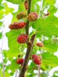 Fresh mulberry Stock Images
