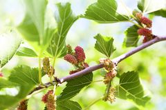 Fresh mulberry, green and red mulberries on the branch of tree. stock images