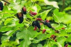 Fresh mulberry stock photos