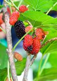 Fresh mulberry Stock Photo