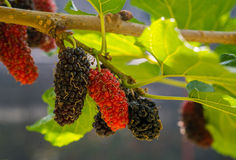 Fresh of mulberry Royalty Free Stock Photo