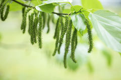 Fresh mulberry on tree. Mulberry tree leaves and fruit stock photo