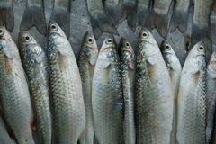 Fresh Mullet Stock Photo