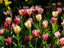 Fresh multi color Tulips. With natural sun light Stock Image