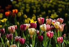 Fresh multi color Tulips. With natural sun light Stock Photography