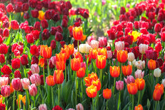 Fresh multi color Tulips. With natural sun light Royalty Free Stock Image