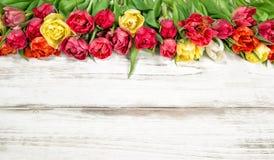 Fresh multicolor tulips. Spring flowers Stock Photo