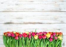 Fresh multicolor tulips. Spring flowers Stock Photos