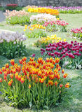 Fresh multicolored tulips Stock Images