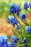 Fresh muscari flowers. Stock Photo