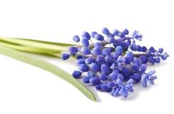 Fresh muscari grape hyacinth flowers stock photos