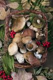 Fresh mushroom boletus. Fresh forest mushroom boletus on the background of autumn leaves Royalty Free Stock Image
