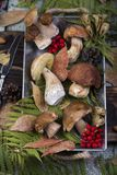 Fresh mushroom boletus. Fresh forest mushroom boletus on the background of autumn leaves Stock Photo