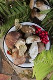 Fresh mushroom boletus. Fresh forest mushroom boletus on the background of autumn leaves Stock Photos