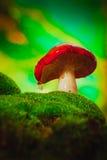Fresh mushroom russula white stalk grows on moss Stock Photo