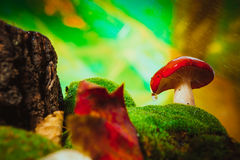 Fresh mushroom russula white stalk grows on moss Royalty Free Stock Images