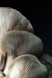 Fresh mushrooms. Edible mushrooms with a black background picture of structured patterns Royalty Free Stock Images