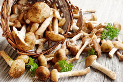 Fresh mushrooms (Armillaria mellea) Stock Image