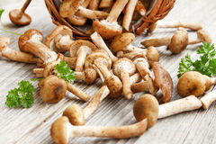 Fresh mushrooms (Armillaria mellea) Stock Images