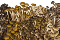 Fresh Mushrooms Chiodini Royalty Free Stock Image