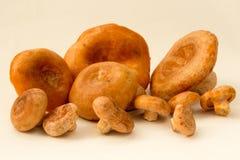 Fresh mushrooms red Lactarius deliciosus stock photo