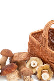 Fresh mushrooms. Wicker basket. White background. Group collected boletus mushrooms and a wicker basket on a white background Stock Photo