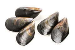 Fresh mussel Stock Images