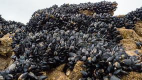Fresh mussel growing on rocks Stock Photo
