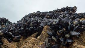 Fresh mussel growing on rocks Royalty Free Stock Image