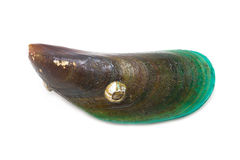 Fresh Mussel. Royalty Free Stock Photo