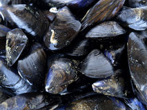 Fresh mussels. Closeup, just before cooking a paella Stock Photography