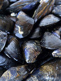 Fresh mussels. Closeup, just before cooking a paella Stock Images