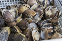 Fresh mussels. In Royalty Free Stock Image