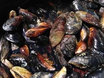 Fresh mussels Royalty Free Stock Photos