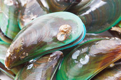 Fresh mussels. Stock Photography