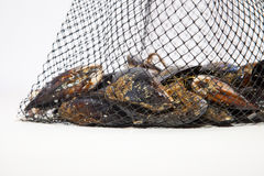 Fresh mussels on net Royalty Free Stock Images
