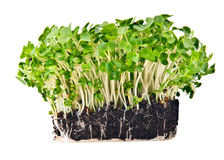 Fresh mustard and cress. Set against a white background Royalty Free Stock Photo