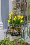 Fresh narcissus in decorative cage Stock Photos