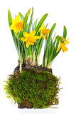 Fresh narcissus plant on white background Stock Photo