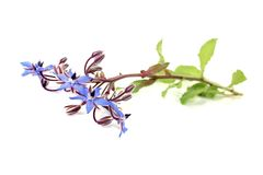 Fresh natural Borage Stock Photo