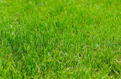 Fresh natural grass green meadow trimmed even Royalty Free Stock Photography
