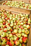 Fresh Natural Organic Apples in Bulk in Wood Crate Royalty Free Stock Photography
