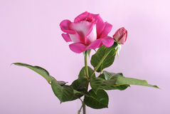 Fresh natural pink rose Royalty Free Stock Images
