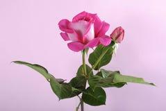 Fresh natural pink rose Royalty Free Stock Images
