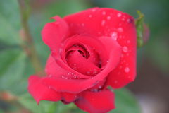 Fresh and natural rose. Photo with fresh and natural rose for background royalty free stock image
