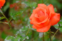 Fresh and natural rose. Photo with fresh and natural rose for background stock images