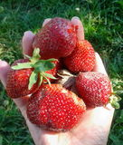Fresh natural strawberries Royalty Free Stock Photography
