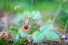 Fresh natural wild strawberry Stock Images